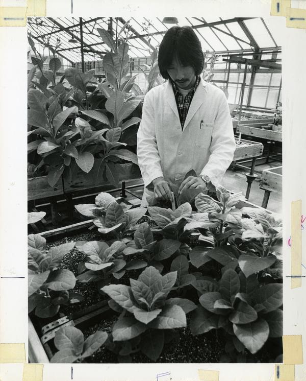 Researcher observing leafy plants in greenhouse