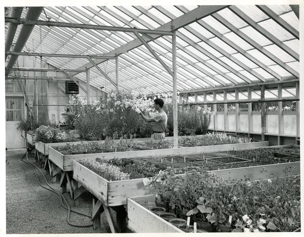 Researcher tending to plants in greenhouse