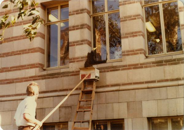 Man using a long rod, ladder and box to remove swarm of bees from Powell Library window, ca. April 1979