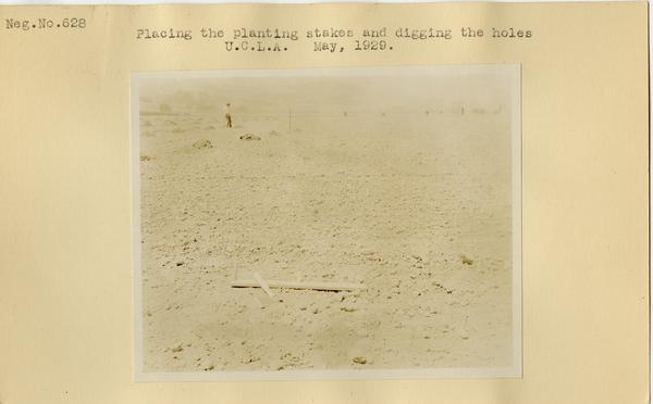 Placing planting stakes and digging holes, ca. May 1929