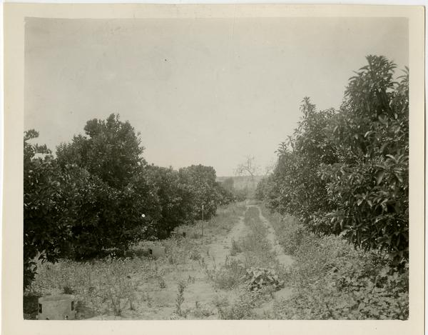 Subtropical Horticulture orchard used for teaching with avocadoes on right and oranges on left, ca. 1934