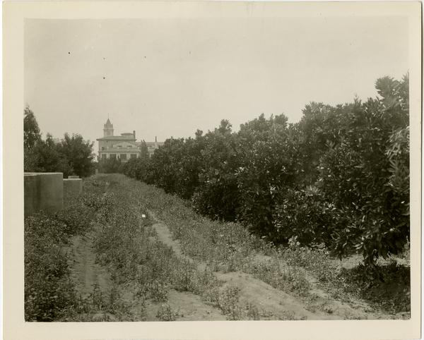 Row of orange treest in Subtropical Horticulture orchard, ca. 1934